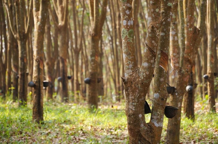 parawood rubberwood